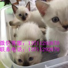 自家繁殖纯种暹罗猫巧克力重点色疫苗和驱虫已做图片