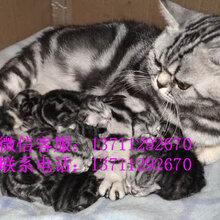 美国短毛猫虎斑纹清晰漂亮活泼可爱大气美短金虎斑猫图片
