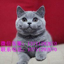专业繁殖英国短毛猫蓝猫健康纯种可签订质保协议图片