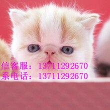 出售纯种温顺粘人加菲猫健康双血统可上门挑选图片