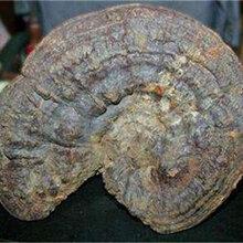 灵芝化石可以公开收购吗