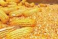 汉江养殖场大量收购玉米碎米麸皮油糠次粉等饲料原料