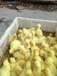 鹅苗养殖,鸡苗养殖,鸭苗养殖,南阳家禽孵化基地