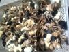 鸡苗批发,南阳鸡苗,柴鸡苗,鸡苗价格,鸡苗孵化,西洼禽业种苗繁育基地,河南鸡苗,湖北鸡苗