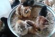 鸡苗多少钱一只,鸡苗价格,养鸡利润,河南鸡苗孵化场,湖北鸡苗养殖,桐柏养鸡户