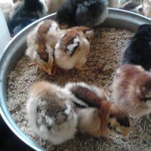 鸡苗多少钱一只,鸡苗价格,养鸡利润,河南鸡苗孵化场,湖北鸡苗养殖,桐柏养鸡户图片