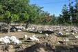 许昌鹅苗孵化基地,许昌养鹅基地,鄢陵哪里有养鹅的,许昌大品种鹅苗批发