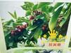 重庆大樱桃苗批发,两年拉宾斯重庆车厘子苗基地直供价格