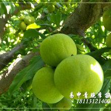 重慶大櫻桃苗價格,大櫻桃樹苗價格多少一株?圖片
