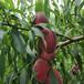 四川桃子苗基地直供,水蜜桃,黃桃,蟠桃,晚福景等品種,桃子樹苗種植有什么要求