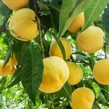 2020年醴陵果园基地直销新品种黄桃苗图片