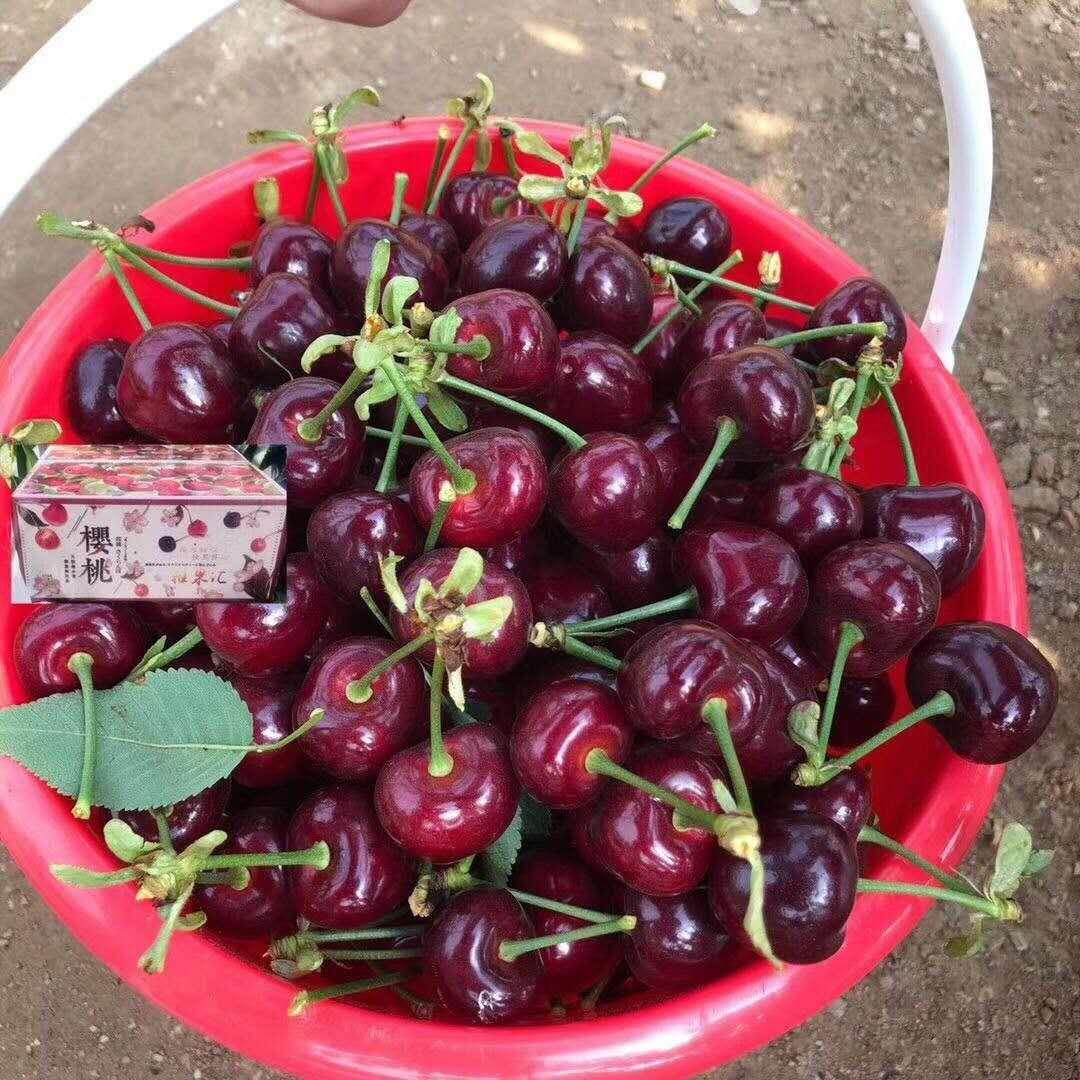 荊州易申農業櫻桃樹苗  櫻桃樹苗價格