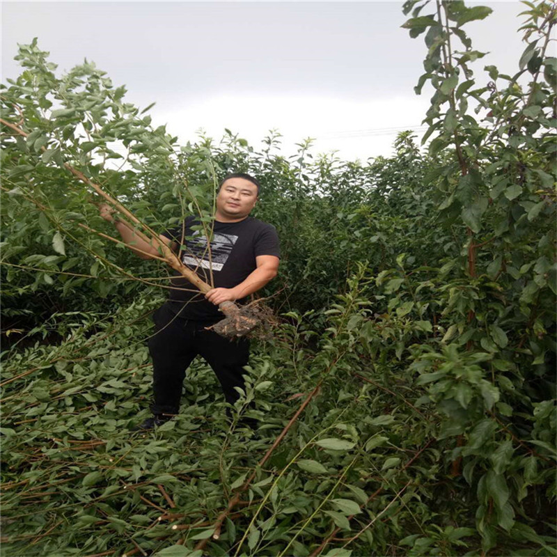 雅安蜂糖李子苗新品种,蜂糖李子苗一公分单价