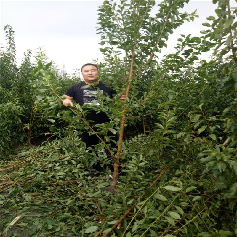 内江蜂糖李苗新品种,蜂糖李苗品种纯度高