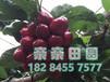 大樱桃苗/车厘子树苗种植气候温度水分风等环境条件和要求