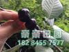 四川大樱桃苗批发,四川大樱桃苗品种,四川大樱桃苗种植