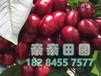 重庆大樱桃苗基地提供重庆大樱桃苗种植技术