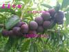 种植李子树注意事项,哪些气候地形土壤条件和如何选择园址怎么种?