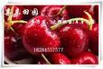 红河大樱桃树苗哪里有?2017大樱桃苗价格,车厘子树苗批发。