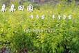 贵州李子苗批发,蜂糖李树苗施肥方法,蜂糖李苗如何施肥?