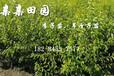 贵州李子苗基地,贵州蜂糖李苗批发,蜂糖李树苗不同季节主要病虫害及防治方法