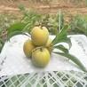 貴州蜂糖李苗,貴州蜂糖李苗價格,貴州蜂糖李苗哪里有賣