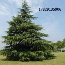 江苏雪松多少钱一棵南京6米7米8米雪松树苗价格图片