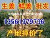 生姜批发生姜价格生姜产地批发多少钱一斤