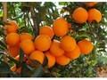 供应秭归夏橙批发价图片