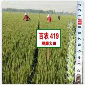 2018年矮杆高产小麦种子有什么品种?
