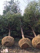 供应优质香樟树价格优质绿化苗木图片