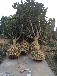 香樟枇杷杜英柚子树等