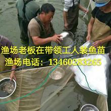 河南花鰱魚苗專業批發山西專業供應八胡鯰魚苗價格量大從優圖片