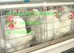 提供自动化养鸡设备:自动化捡蛋鸡、自动化清粪机、自动化上料机