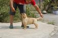 苏州出售健康的拉布拉多苏州哪里有卖拉布拉多犬