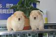 苏州出售健康的松狮苏州哪里有卖松狮犬