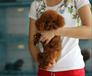 苏州出售健康的泰迪犬苏州哪里有卖泰迪犬