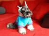 苏州出售健康的雪纳瑞犬苏州哪里有卖雪纳瑞犬