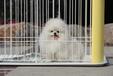 无锡出售健康的博美犬无锡哪里有卖博美犬