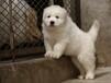 无锡出售健康的大白熊无锡哪里有卖大白熊犬