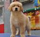 无锡出售健康的金毛犬无锡哪里有卖金毛犬