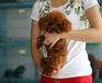 无锡出售健康的泰迪犬无锡哪里有卖泰迪犬