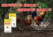 如何?#20048;?#40481;呼吸道疾病?鸡呼吸道疾病的?#20048;?#25514;施。