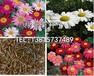 出售除虫菊种子价格怎么播种除虫菊种子卖一斤除虫菊种子