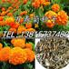 出售万寿菊种子蜂窝菊花种子臭芙蓉种子盆栽观赏芙蓉菊发芽率99%