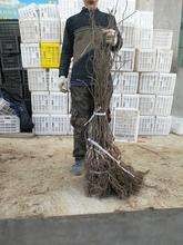 陕西周至猕猴桃苗木热销中图片