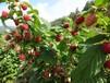 双季树莓苗秋福
