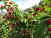 树莓苗大果型树莓基地树莓苗价格树莓苗种植