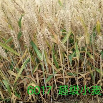 圣农源6017矮杆大穗型小麦