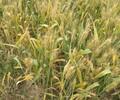 供应济麦22小麦种子